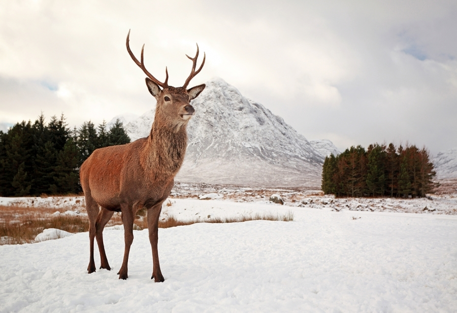 Landscaping Ties Red Deer : Animal photo gallery scottish landscape and wildlife photography by grant glendinning