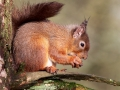Red Squirrel perched
