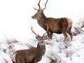 Red-Deer-Stag-Ardvreck