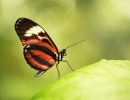 Ismenius longwing