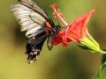 Lows Swallowtail