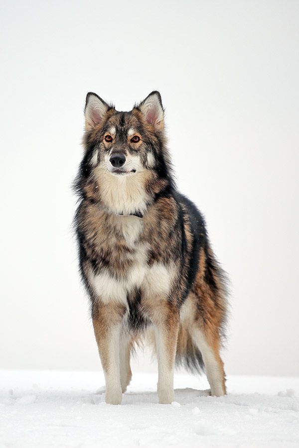 What Is The Breed Of Dog Called A Utonagan
