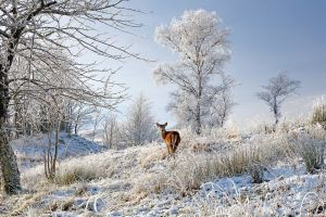 Red Deer in frosty meadow