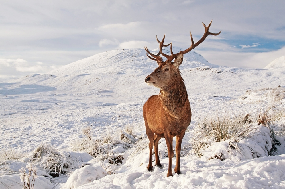 Scottish Red Deer Stag in snow