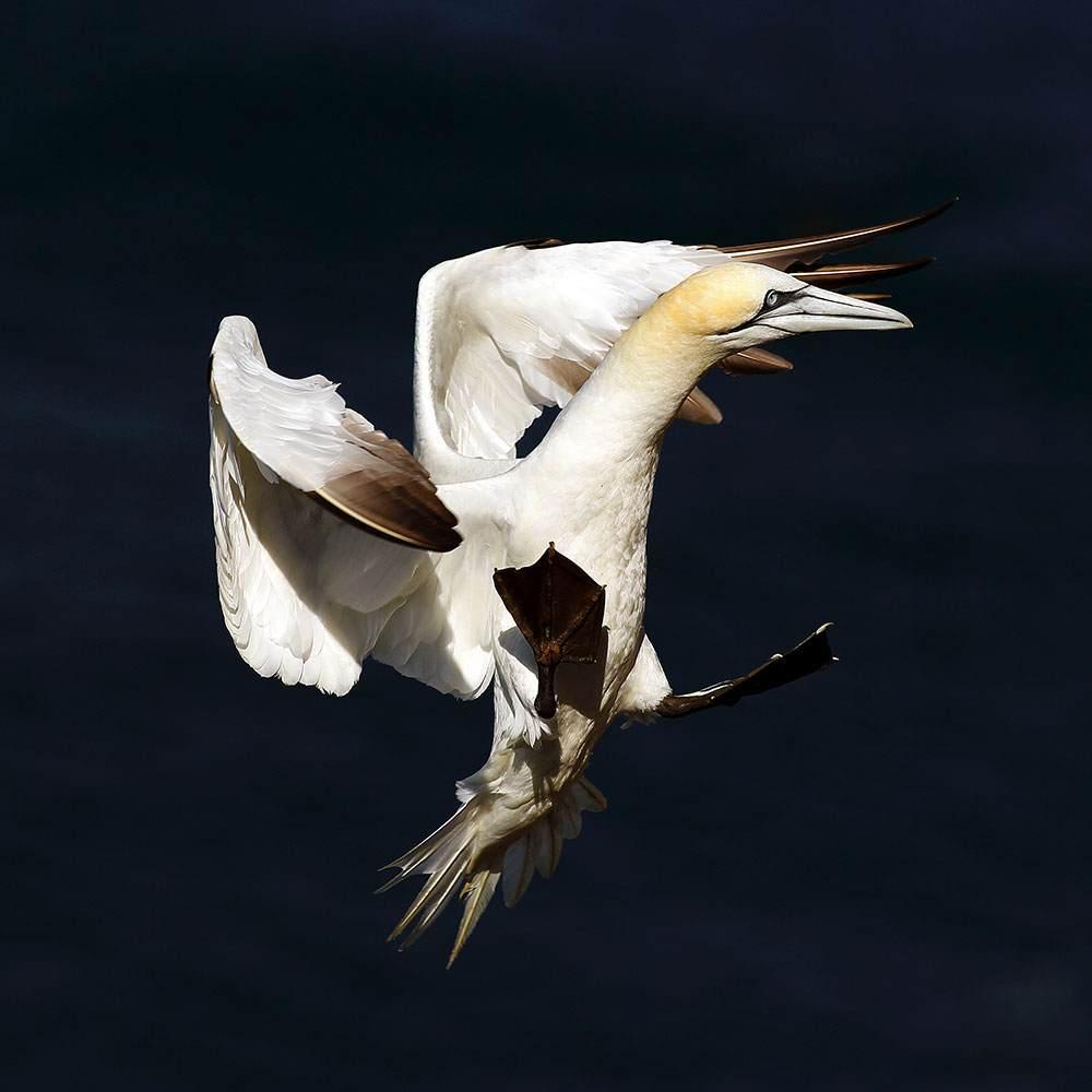 Northern Gannet in flight - Troup Head