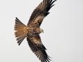 Red Kite Flight