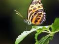 Harmonia Tiger Wing