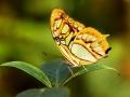 Malachite Buttefly