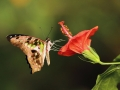 Tailed Jay on flower