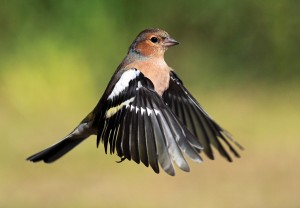 Chaffinch hovering in flight