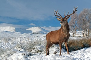 Red Deer Stag on a snow covered Rannoch moor, Glencoe