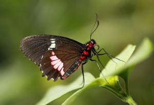 Pink Cattleheart tropical butterfly, highly commended & published in Canon photoplus magazine, July 2012