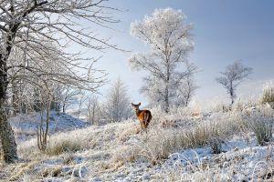 Red Deer in frosty meadow